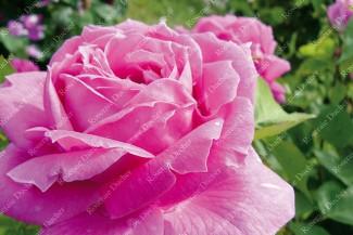 Shrub rose Heinrich Schultheiss