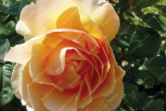 Shrub rose Just Joey