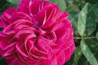 Shrub rose Maurice Lepeltier