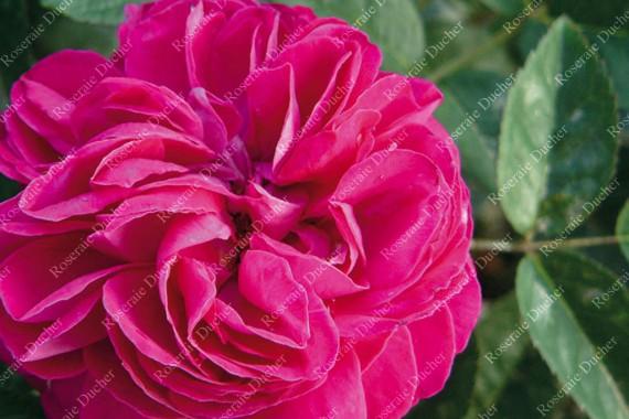 Rosier buisson Maurice Lepeltier
