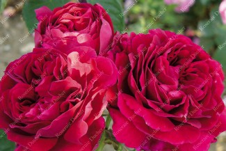 Shrub rose Pierre Notting