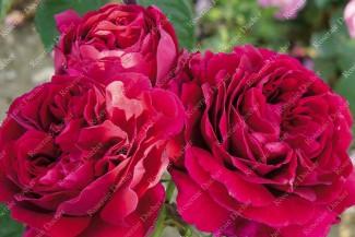 Shrub rose Pierre Notting