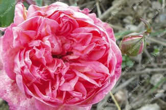 Shrub rose Marie d'Orleans