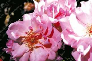Shrub rose Marchenland