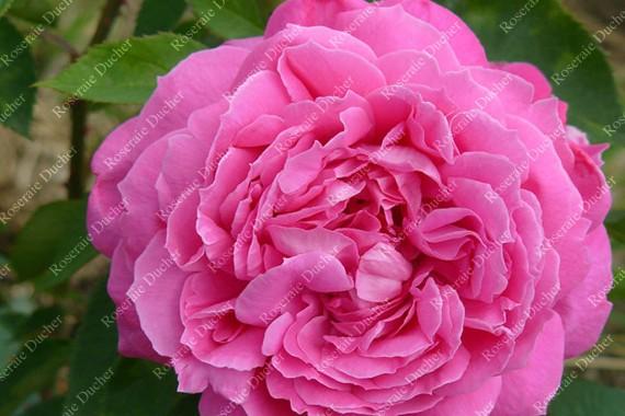 Shrub rose Magna Charta