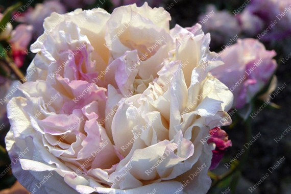 Shrub rose Madame de Tartas