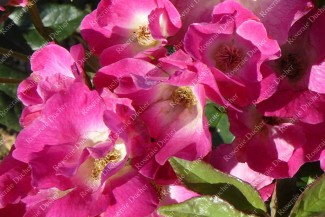 Shrub rose Madame Francisque Fabvre