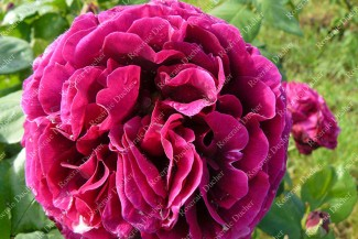 Shrub rose Madame Francisque Rive