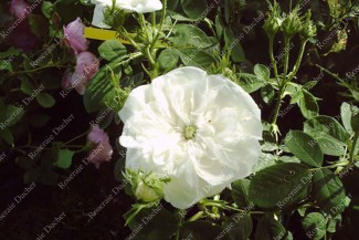 Shrub rose Madame Hardy