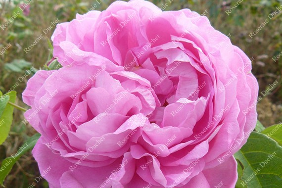 Shrub rose Madame Joseph Bonnaire