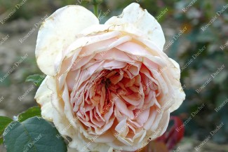 Shrub rose Madame Hector Leuliot