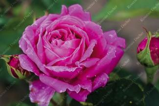 Shrub rose Madame Jules Grevy