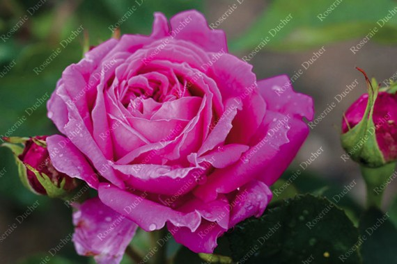 Shrub rose Madame Jules Grevy