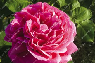 Shrub rose Madame Letuve de Colnet