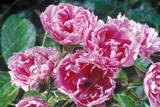 Rosier buisson Pink Grootendorst