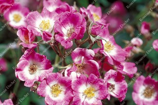 Shrub rose Mozart