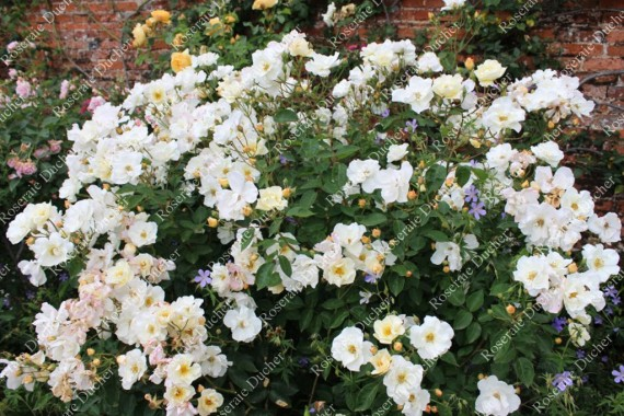Shrub rose Penelope