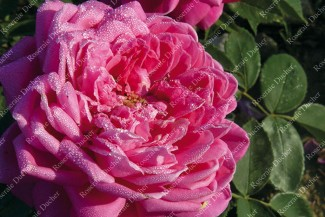Shrub rose Marquise de Castellane