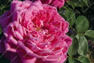 Shrub rose Marquise de Castellane