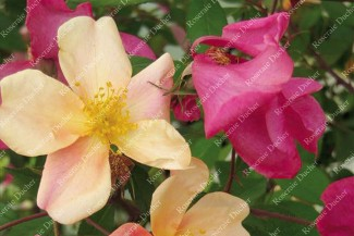 Shrub rose Rosa Mutabilis
