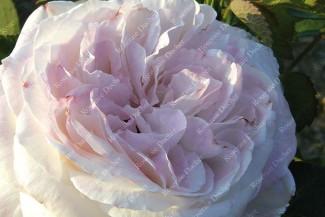 Shrub rose Merveille de Lyon