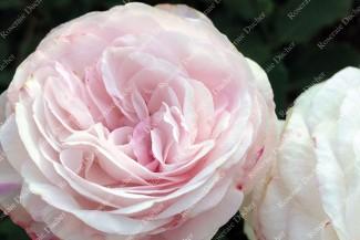 Shrub rose Noisette Moschata