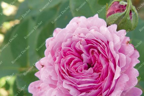 Shrub rose Prince Napoleon