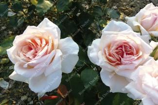 Shrub rose Prince de Bulgarie