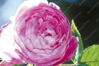 Shrub rose Reine Victoria