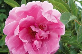 Shrub rose Prairie Dawn