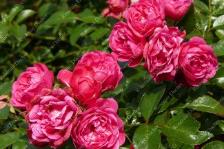 Shrub rose Pretty Fairy