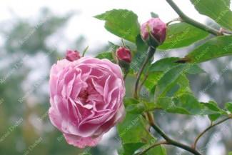 Shrub rose Purple Mont Vernon