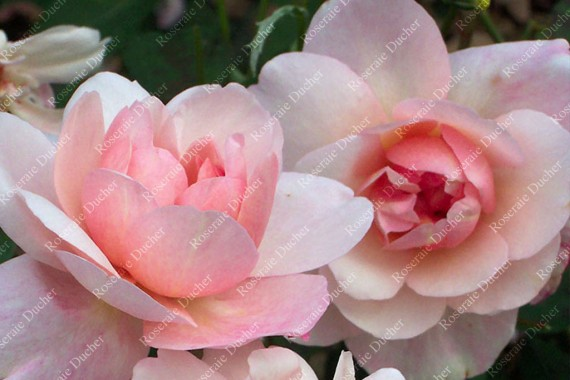 Rosier buisson Pink Gruss an Aachen