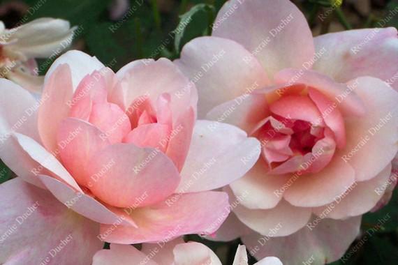 Shrub rose Pink Gruss an Aachen