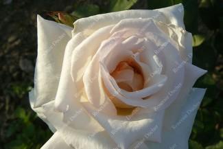 Shrub rose Reims