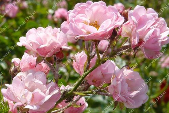 Shrub rose The Fairy