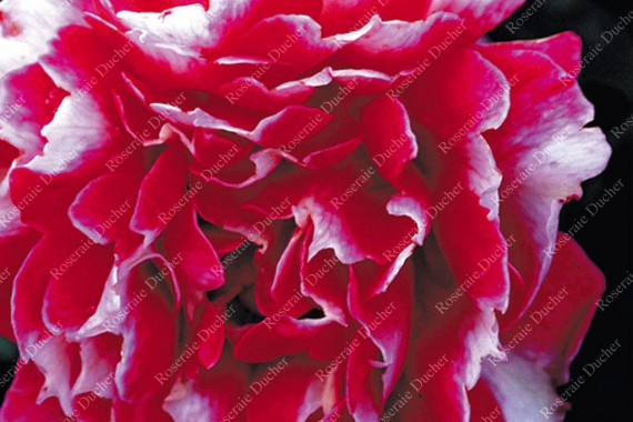 Shrub rose Roger Lambelin