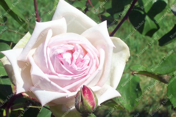 Shrub rose Souvenir du President Carnot