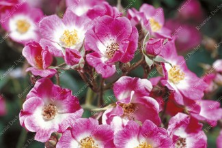 Shrub rose Robin Hood