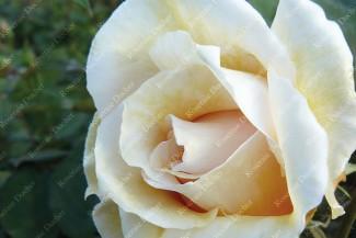 Shrub rose Safrano