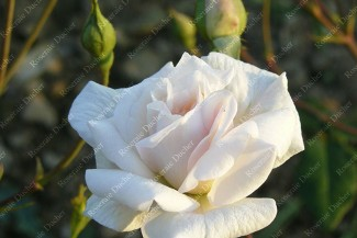 Shrub rose White Cecile Brunner