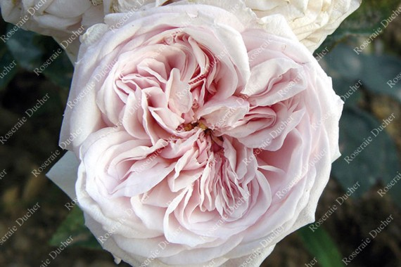 Shrub rose Souvenir de la Malmaison