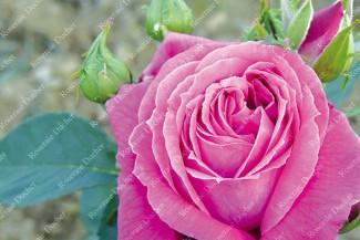 Shrub rose Souvenir du Docteur O'Donnell Brown