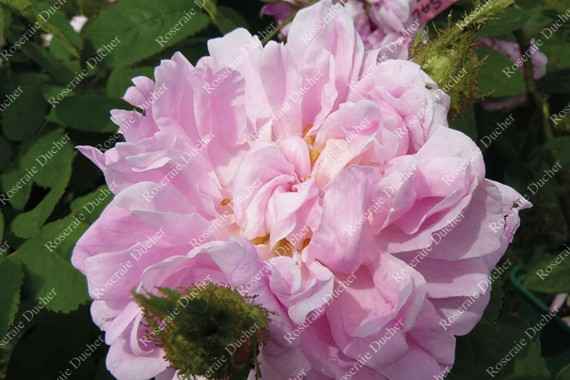 Shrub rose Soupert et Notting