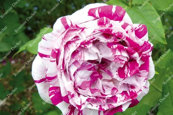 Shrub rose Variegata di Bologna