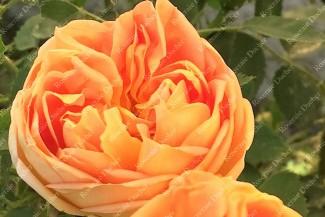 Shrub rose Soleil d'Or