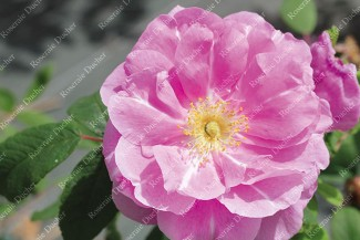 Shrub rose Therese Bugnet