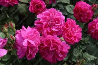 Shrub rose Sir Joseph Paxton
