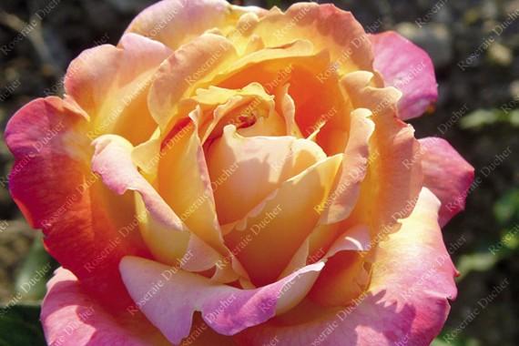 Shrub rose Tahiti