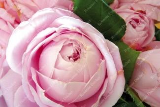 Shrub rose Spencer